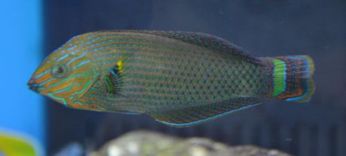 Something Fishy :: Aquarium Livestock :: Fish :: Wrasses
