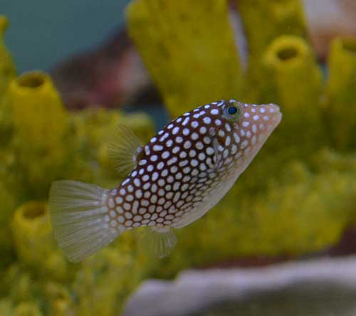 White Spotted Puffer, Hawaiian
