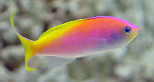 Bartlett Anthias