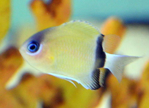 Black Bar Chromis
