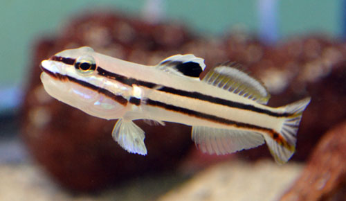 Railroad Sleeper Goby