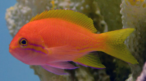 Squarespot Anthias - Female