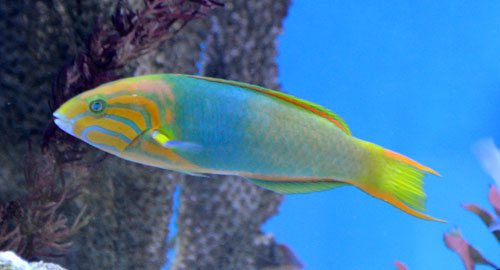 Sunset Wrasse - Adult