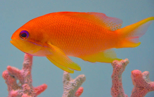 Squamipinnis Anthias, Pacific Female