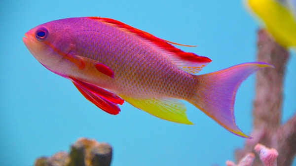 Squamipinnis Anthias, Fiji Male