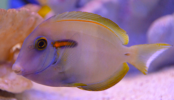 Orange Shoulder Tang, Hawaiian