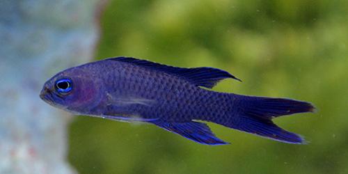 Something fishy aquarium livestock fish assessors for Lifespan of a betta fish in captivity