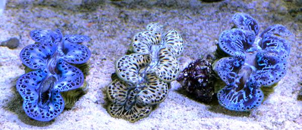 "Tahitian Tridacna maxima 2"" Clam"