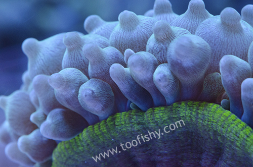 Bubble-Tip Anemone, Green Medium