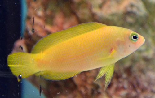ORA Yellow Dottyback