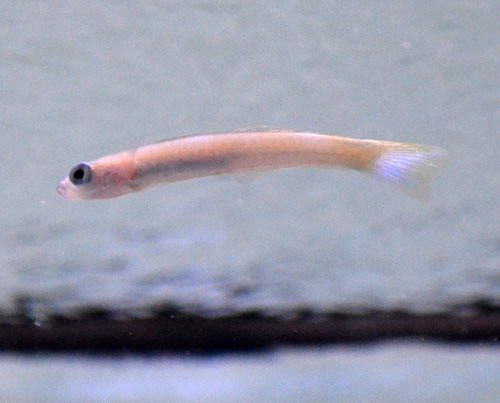 Pearly Dartfish