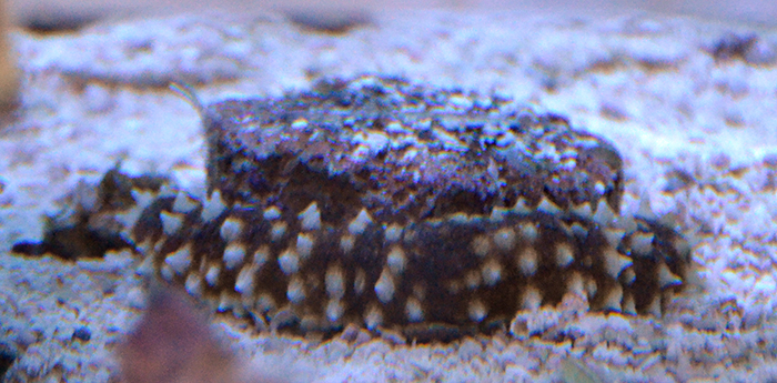 Tiger Tail Sea Cucumber