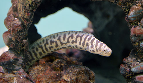 Chainlink Moray Eel