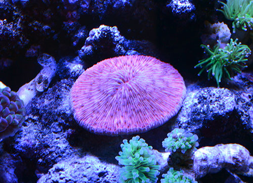 Red Plate Coral