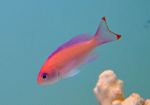 Tri-Color Anthias