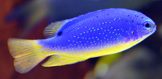 Fiji Blue Devil Damsel