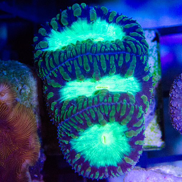 Glow Worm Blastomussa Frag, 2-3 Heads #A1-102