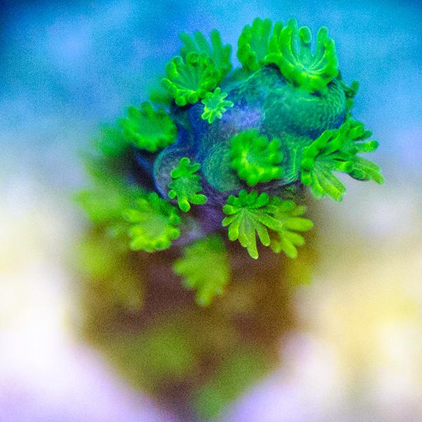 Lime Green Polyp Acropora #A3-119
