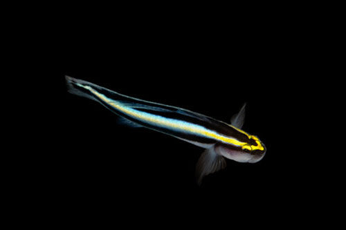 ORA Sharknose Goby