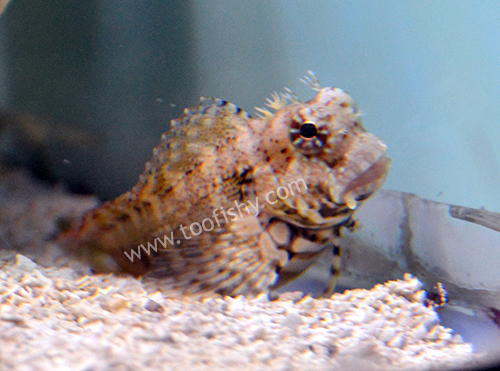 Algae Blenny - Medium