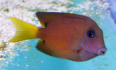 Blue Eye Two Spot Tang