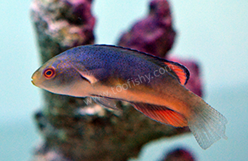 Black Margin Fairy Wrasse