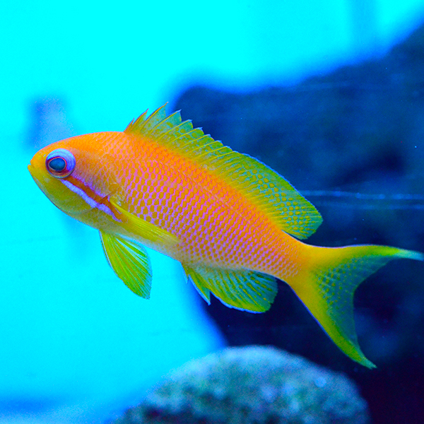Squamipinnis Anthias, Kenya Female