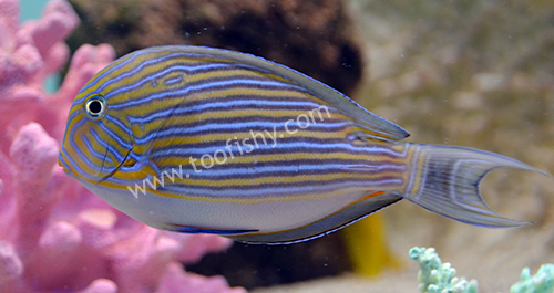 Clown Tang, Medium/Large