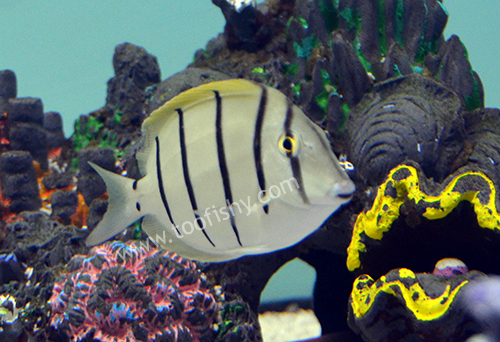 Convict Tang, Medium