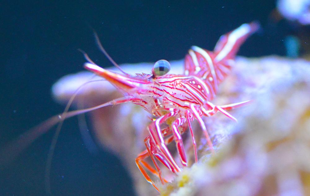 Camel Shrimp (Not Reef Safe)
