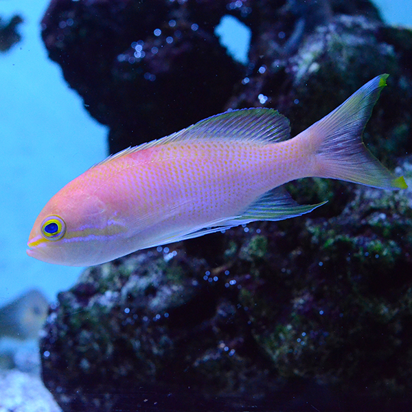 Charlene's Anthias