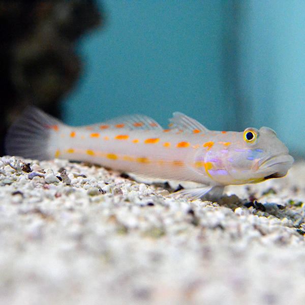 Orange Spot Sleeper Goby