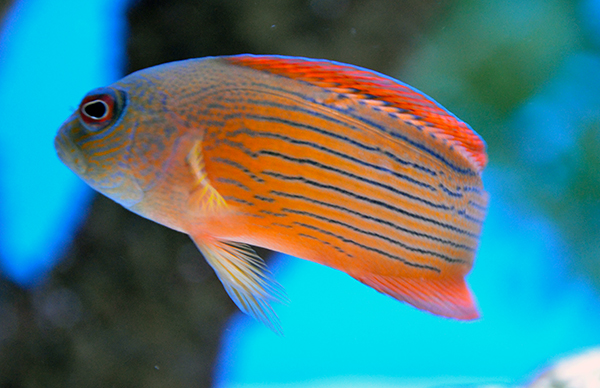 Red Dottyback