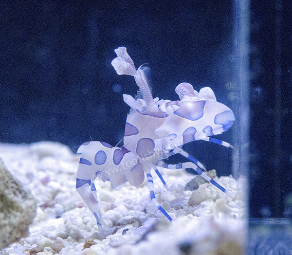 Harlequin Shrimp  ***Eats Starfish***