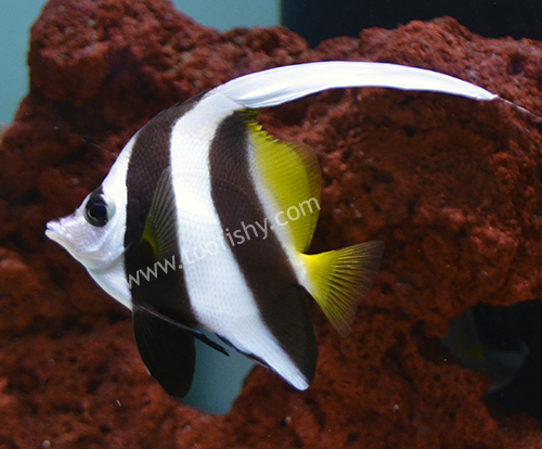 Heniochus Bannerfish