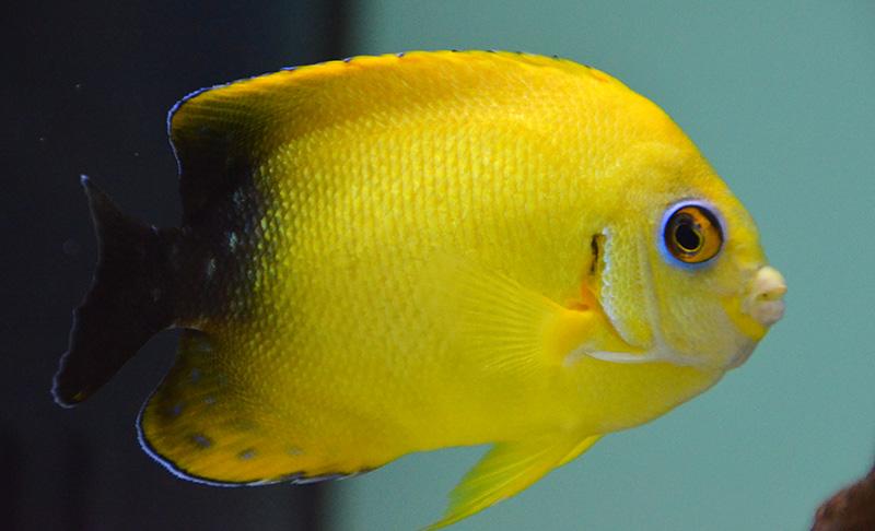 Hybrid Lemon Peel Angel