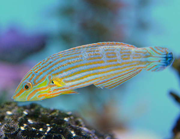 Hoeven's Wrasse