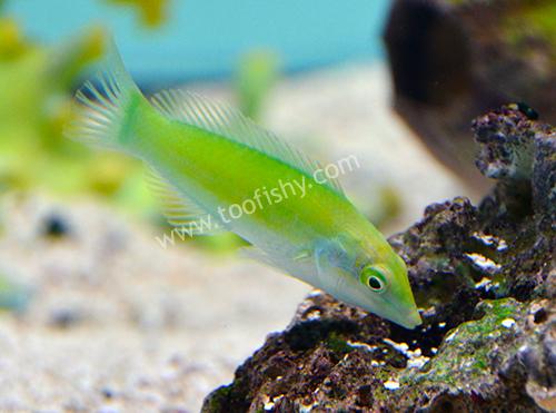 Lime Green Coris Wrasse (Small)