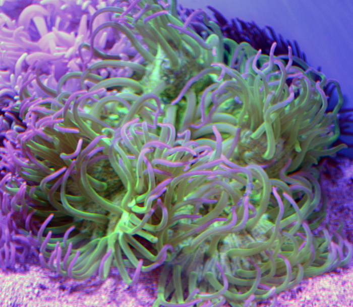 Long Tentacle Anemone Green