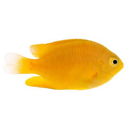 ORA Lemon Damsel