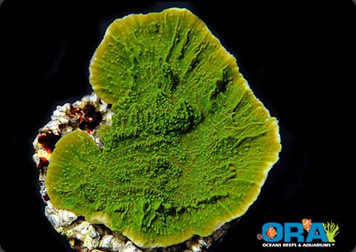 ORA Green Montipora Capricornis