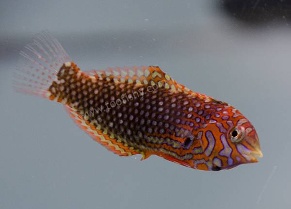Ornate Leopard Wrasse, Female