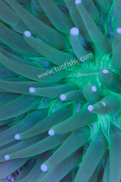 Long Tentacle Plate Coral (Med.)