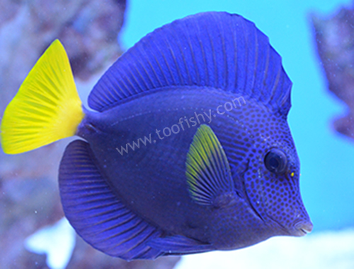 Purple Tang - Red Sea