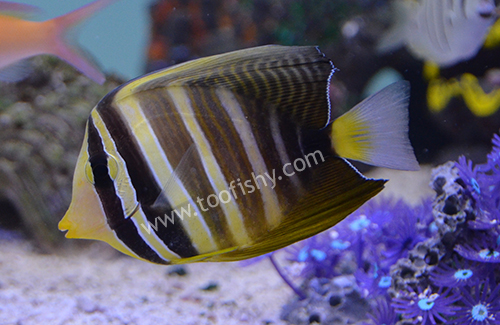 Sailfin Tang, Small