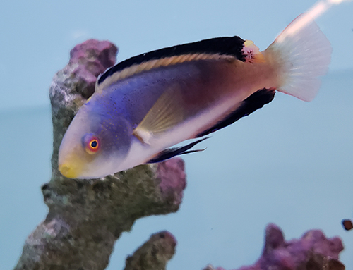 Scott's Fairy Wrasse, Male, Large