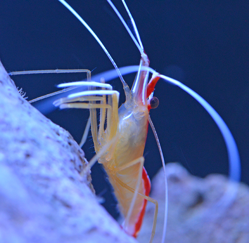 Cleaner Shrimp, Tiny