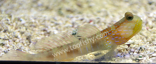 Beautiful Cheek Shrimp Goby