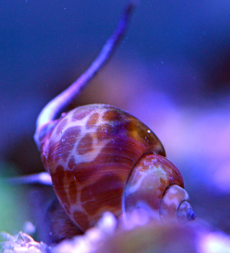 Orange Spotted Sandsifting Snails