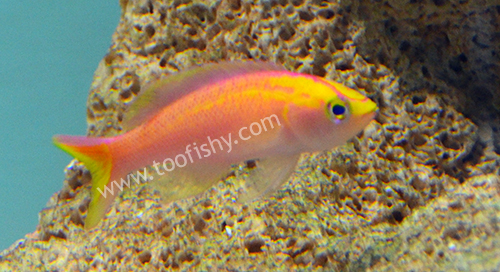 Sunset Anthias